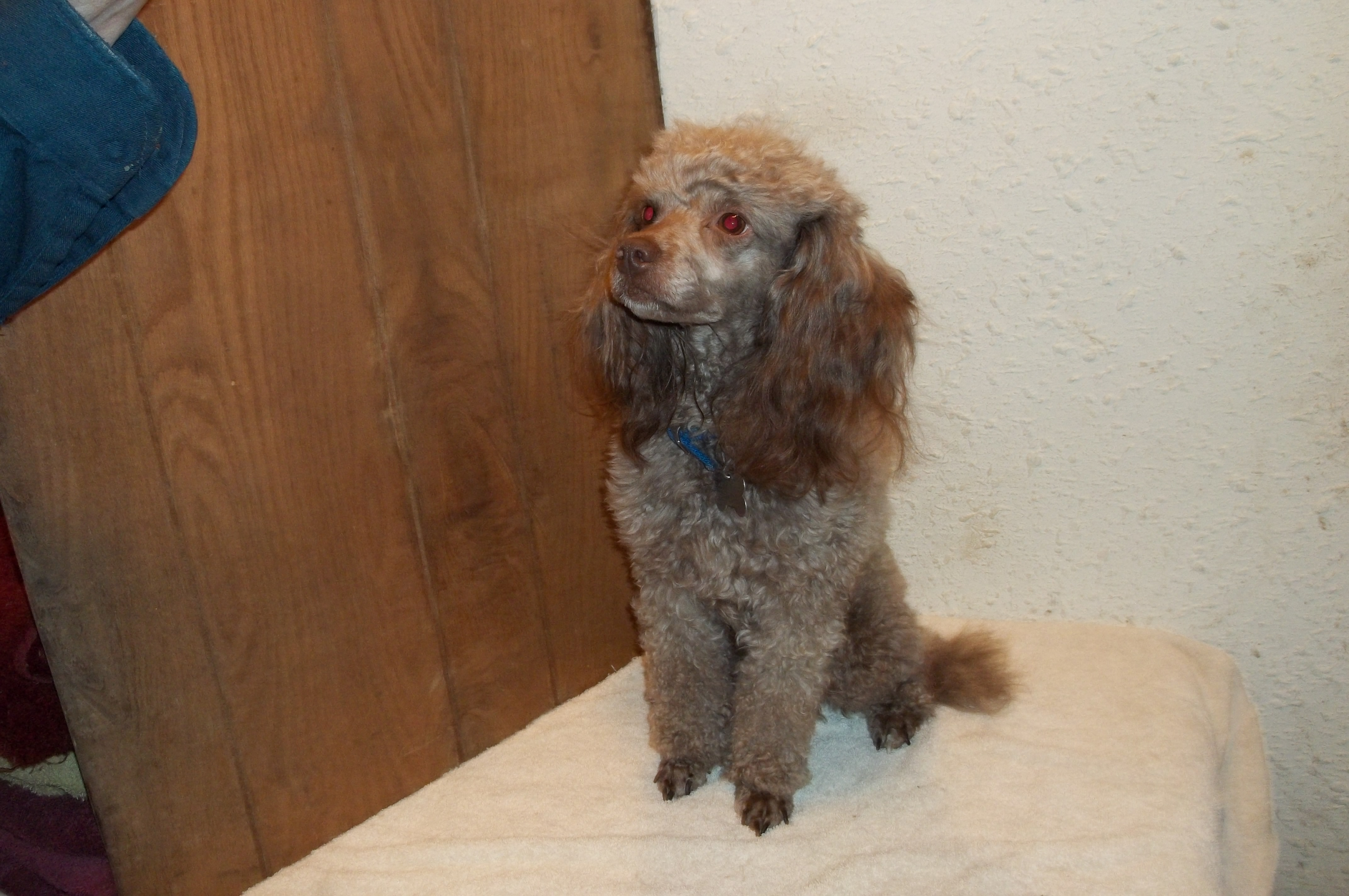 Standard And Miniature Poodles For Sale I Registered