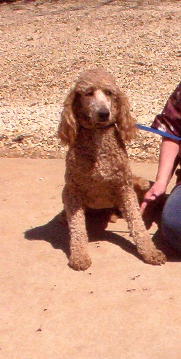 standard and miniature poodles for sale i registered  licensed breeders  akc approved jefferson