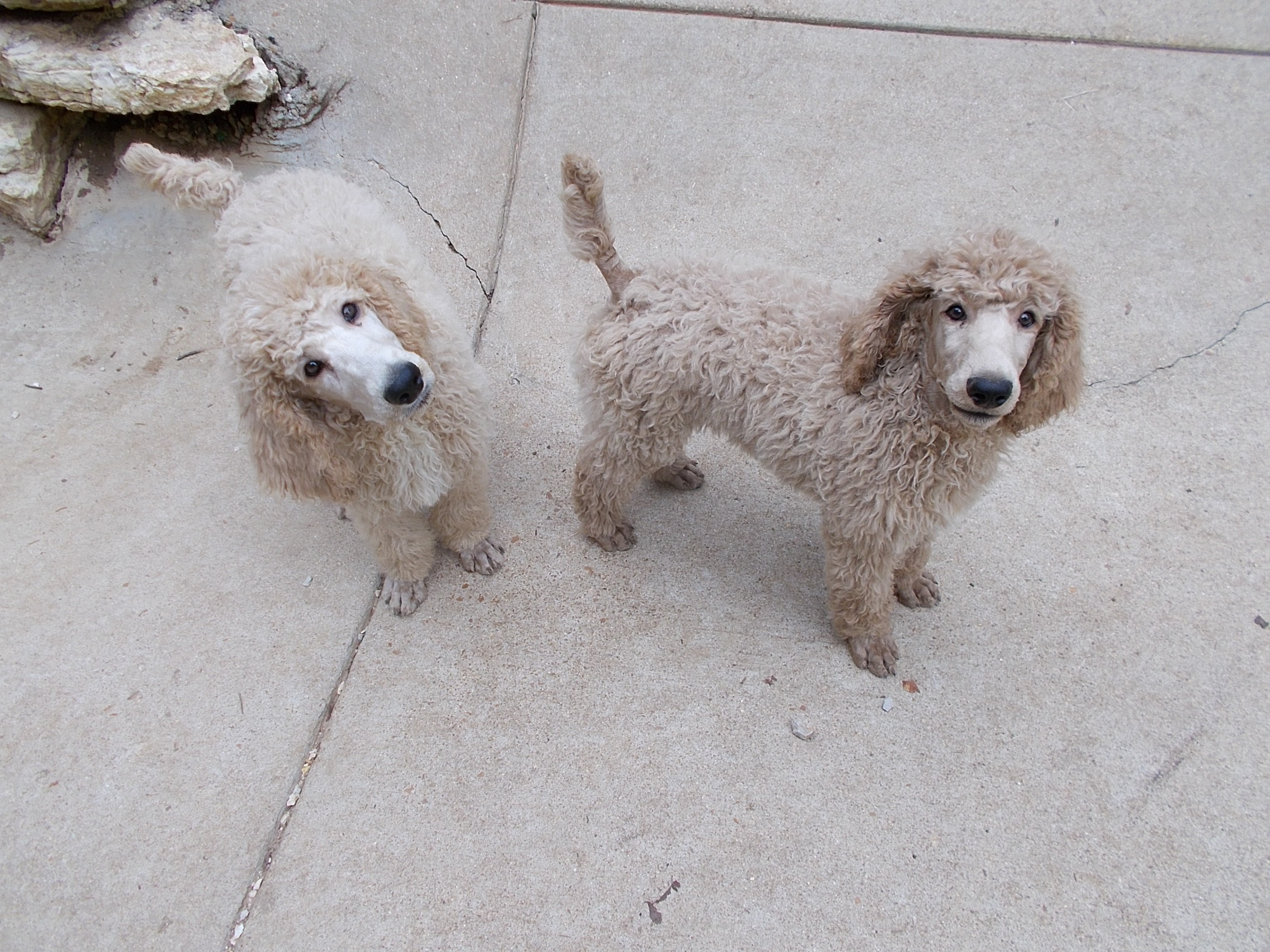 Toy Poodles For Adoption In Missouri – Wow Blog